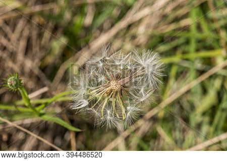 A Finished Dandelion Flower That Turned Into Seeds That Some Flew Off With The Wind To Replant For N