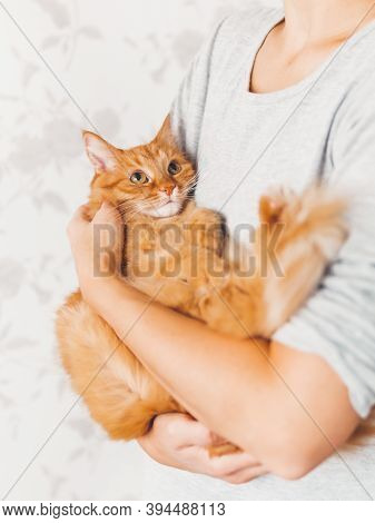 Woman Cuddles Her Cute Ginger Cat. Fluffy Pet Looks Pleased And Sleepy. Fuzzy Domestic Animal. Cat L