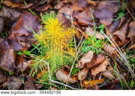 A Young Sapling Of Spruce Grows In The Ground. Sapling Spruce Planted By Man. Forest Management. Spr
