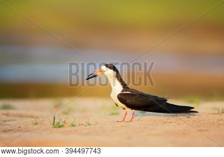 Close Up Of A Black Skimmer (rynchops Niger) On A River Bank At Sunset, South Pantanal, Brazil.