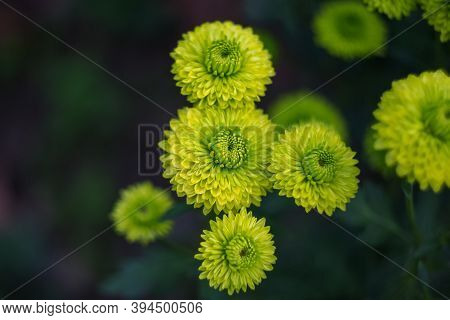 Green Chrysanthemums On A Blurry Background Close-up. Beautiful Bright Chrysanthemums Bloom In Autum