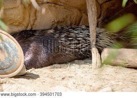 The Indian Crested Porcupine, Hystrix Indica, Is A Hystricomorph Rodent Species Native To Southern A