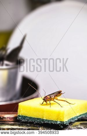 Cockroach Walking On A Washing Sponge In The Kitchen Sink With Dirty Dishes. Insect Contamination An