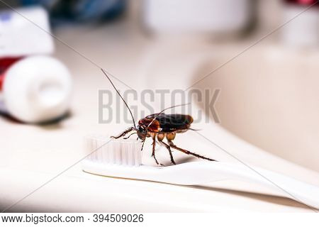 American Cockroach Feeding On Toothbrush. Night Insect Indoors, Concept Of Pest Control And Bacteria