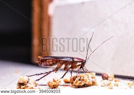 American Cockroach Walking Around The House At Night, Eating Scraps Of Food On The Floor.