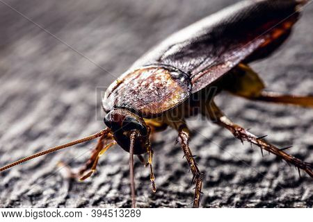 American Cockroach, Fear Of Cockroach And Insect. American Periplaneta. Catsaridaphobia Concept