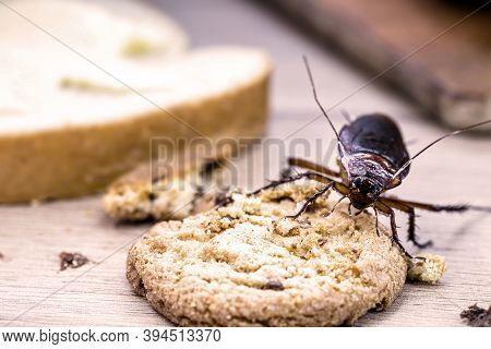 Common Cockroach, Red And Black, Feeds On Scraps Of Food On Table, American Periplaneta. Insect Pest