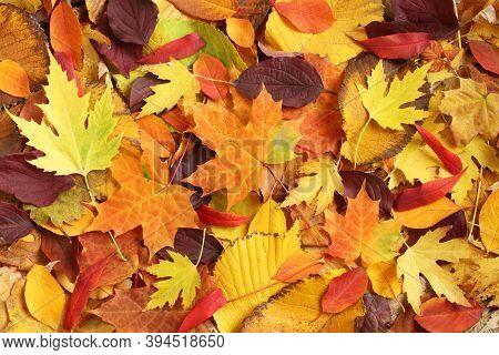 Autumn Background - Dried Yellow, Green, Orange, Purple And Red Leaves Of Maple, Alder, Sumac Tree,