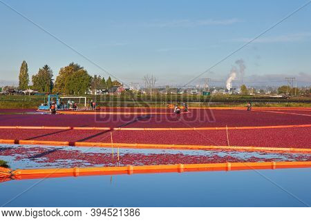 Richmond, British Columbia, Canada - October 26, 2017. Cranberry Harvest. Cranberries Harvested On A