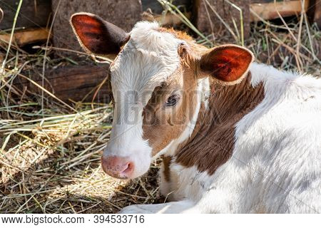 Portrait Of A Beautiful Cute White Calf With Brown Spots In A Summer Village