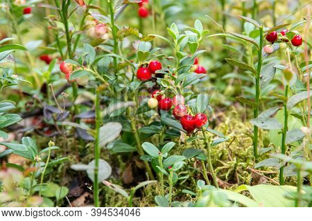 Bright Red Lingonberry Or Cranberry Berries On Bushes With Green Leaves, Selective Focus, Natural Bo