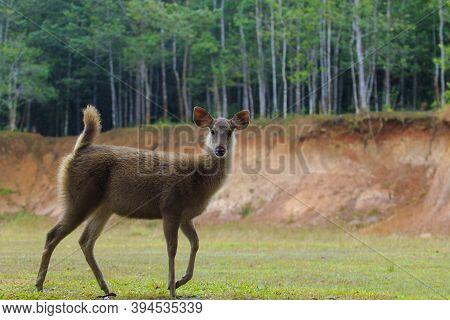 Young Female Sambar Deer In Khao Yai National Park Thailand1