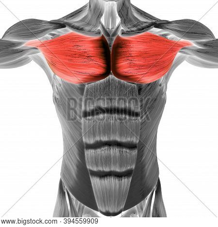 3d Illustration Concept Of Human Muscular System Torso Muscles Pectoral Muscles Anatomy