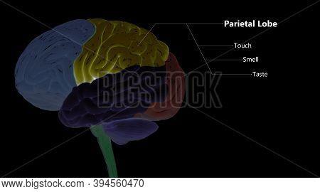 3d Illustration Concept Of Central Organ Of Human Nervous System Brain Lobes Parietal Lobe Described