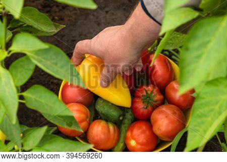 Harvesting At The Farm, Hand Putting Vegetables In A Bowl - A Bowl With Tomatoes, Cucumbers And Pepp