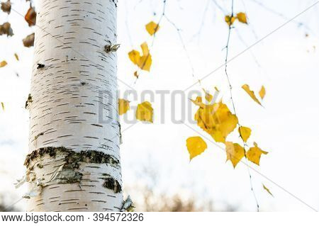 Natural Background - White Birch Tree Trunk Close Up And Blurred Yellow Leaves On Background In City