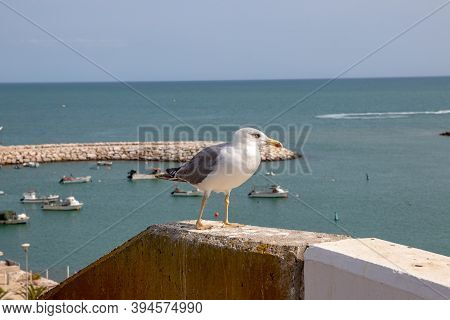 Selective Focus On A European Herring Gull (larus Argentatus) On A Wall At Algarve Coast In Portugal