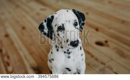 Puppy Of Dalmatian Dog Sits On The Wooden Floor In Room.