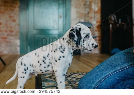 Puppy Of Dalmatian Dog Stands Near Leg Of Man In Room.