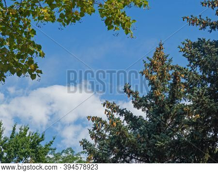 A Blue Spruce Is Strewn With Ripe Cones, Surrounded By Neighboring Trees, Flaunts Against The Backgr