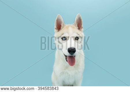 Portrait Siberian Husky Puppy Dog Sticking Out Tongue. Isolated On Blue Background.