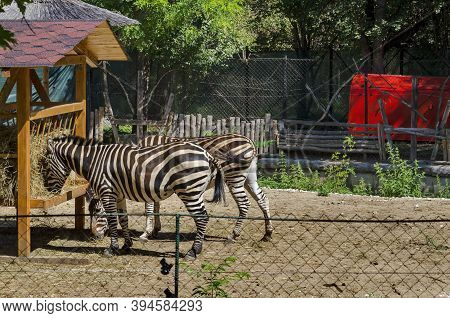 Several Zebras Feed On Hay From An Outdoor Manger In The Yard, Sofia, Bulgaria