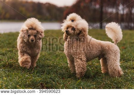 Two Cute Small Golden Poodles Standing On Green Lawn In The Park. Happy Dog.