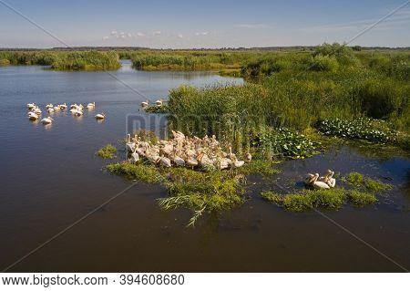 Great white pelicans in natural habitat ( Pelecanus onocrotalus), Danube Delta, Romania