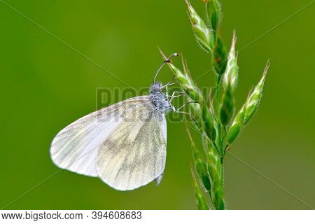The small white (Pieris rapae) sitting on green plant outdoor in spring