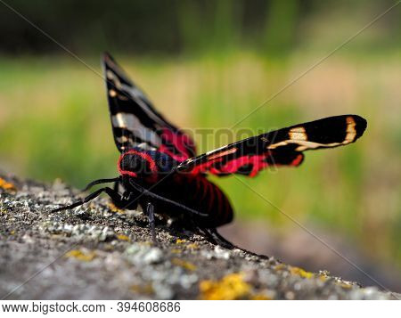 tiger moth in natuiral habitat (arctia festiva)