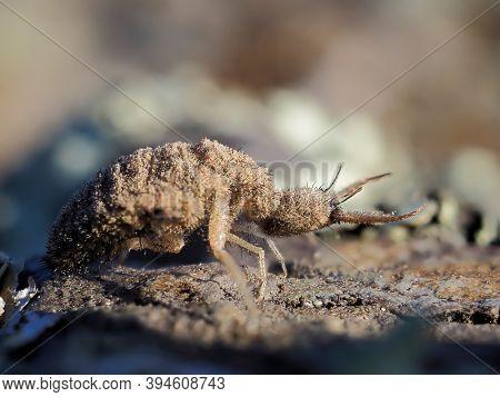 ant lion insect in natural habitat (myrmeleon formicarius)