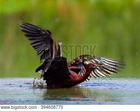 glossy ibis in natural habitat (plegadis falcinellus)
