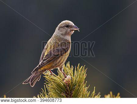 Crossbill in natural habitat - Loxia curvirostra. Wildlife photo