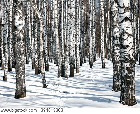 Winter Birch Trees In A Sunny Park In March