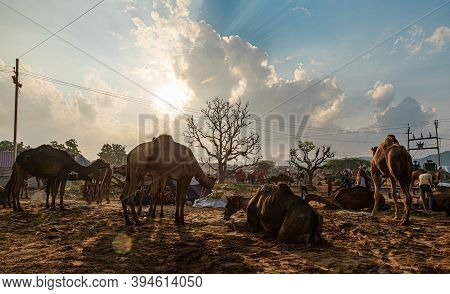 Pushkar, India - November 2020:\nthe Herd Of Dromedary Camels Being Led Throw The Desert Landscape A