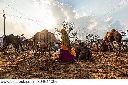 Pushkar, India - November 2020:\ncandid Shot Of The Desert Life A Pushkar Camel Festival.