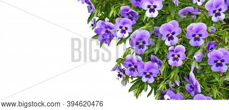 Beautiful Spring Or Summer Floral Border - Purple Violets Or Pancy Flowers Close Up On White Backgro