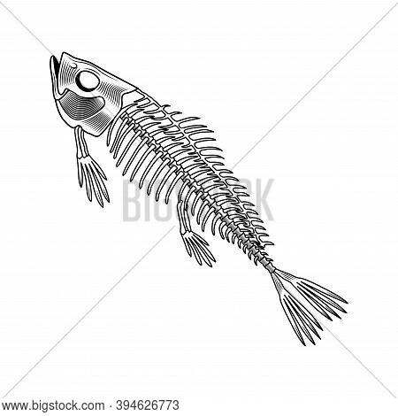 Salmon Bones Vector Illustration. Fish Skeleton, Chord, Fins, Head And Tale. Dead Animal Or Food Con