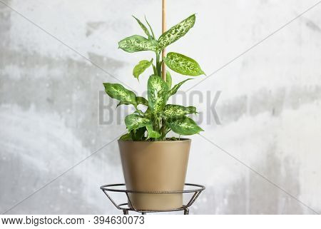 Pot With A Home Plant On The Background Of An Untreated Wall. Home Or Room Decorations. Dieffenbachi