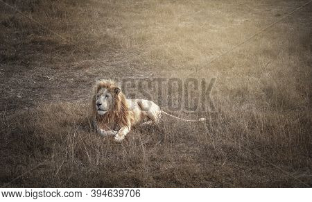 The Lion Is Lying On The Ground. A Big Fluffy Mane Surrounds The Face Of The Powerful.