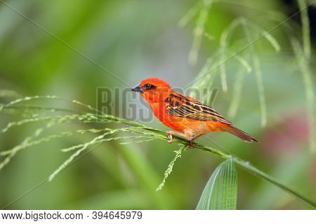 The Red Fody (foudia Madagascariensis) Seated On The Grass With Green Background. A Red Weaver From