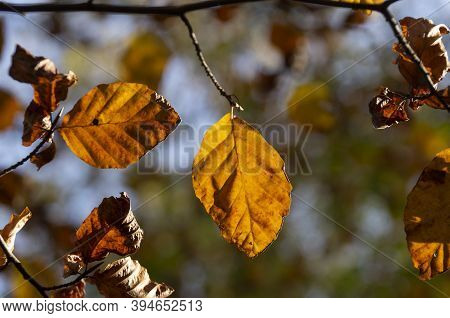 Autumn Natural Background, Colored Leaves, Yellow Foliage, Golden