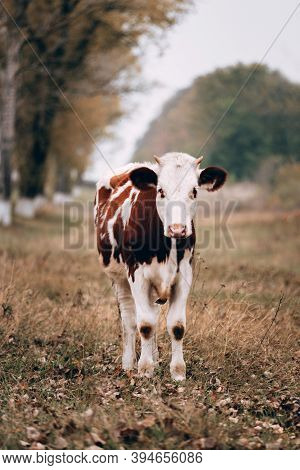 A Beautiful Pedigreed Young Spotted Cow Stands In A Clearing And Grazes. A Cow Stands In A Meadow Ag
