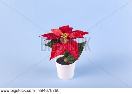Poinsettia With Star Flowers For Christmas Or New Year In White Pot On Blue Background. Xmas Winter