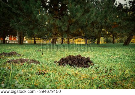 Fresh Mole Hills On The Garden Yard With Green Grass Against The Background Of Pine Trees - Damage T