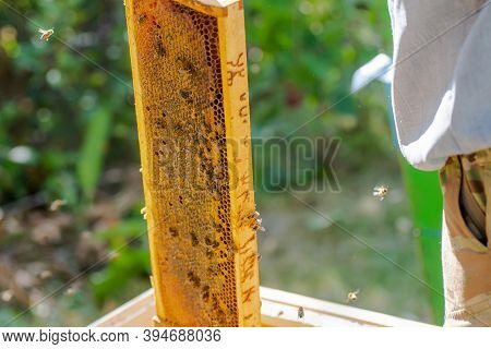 Beekeeper Is Working With Bees And Beehives On Apiary. Bees On Honeycomb. Frames Of Bee Hive. Beekee