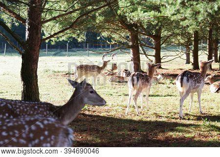 A Herd Of Deer And Roe Deer Grazing On Meadow. Red Deer Or European Deer. Deer Farm