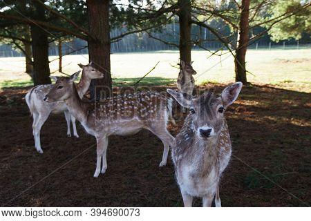 Red Deer Or European Deer In The Forest. Deer Farm