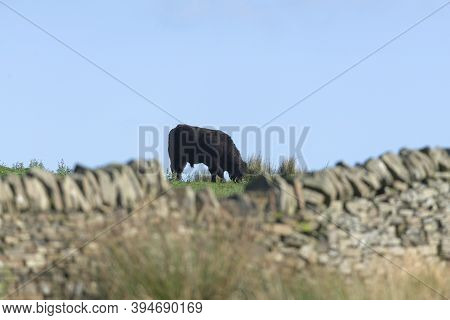 Out Of Focus Dry Stone Wall In The Yorkshire Peak District Frames A Single Large Male Bull Cow As He