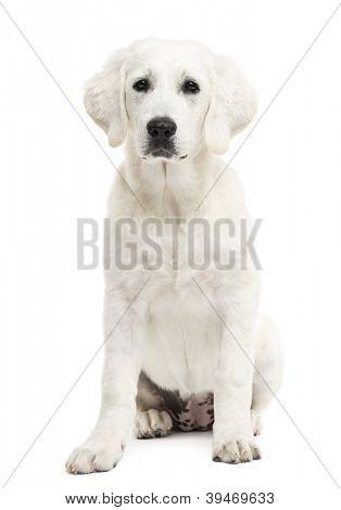 Polish Tatra Sheepdog sitting against white background